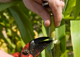 Cutting a sorghum sample